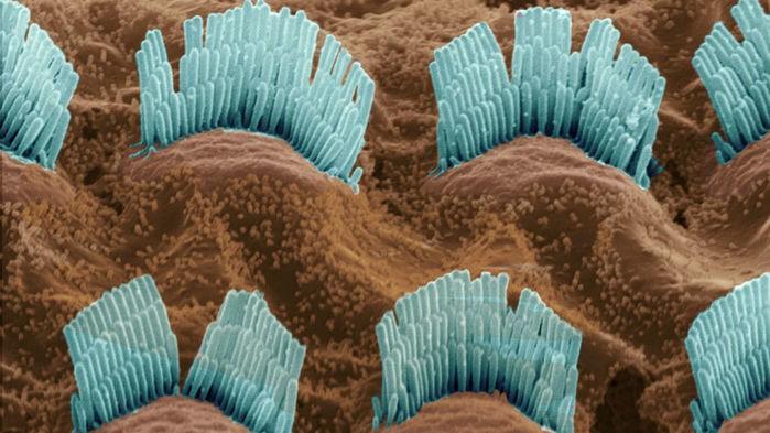 İç ve Dış tüy hücreleri ne yapıyor ?