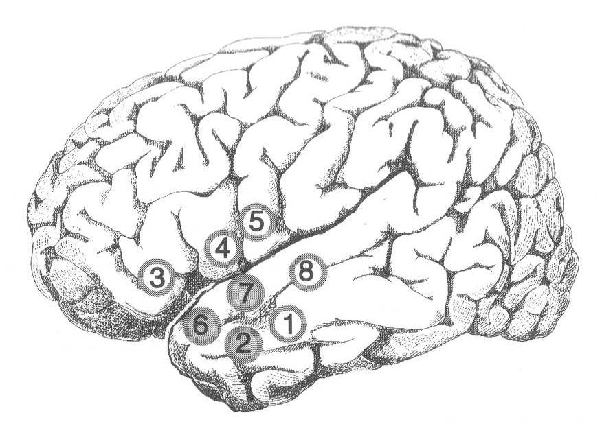 Odyologlar için Dil ve Beyin