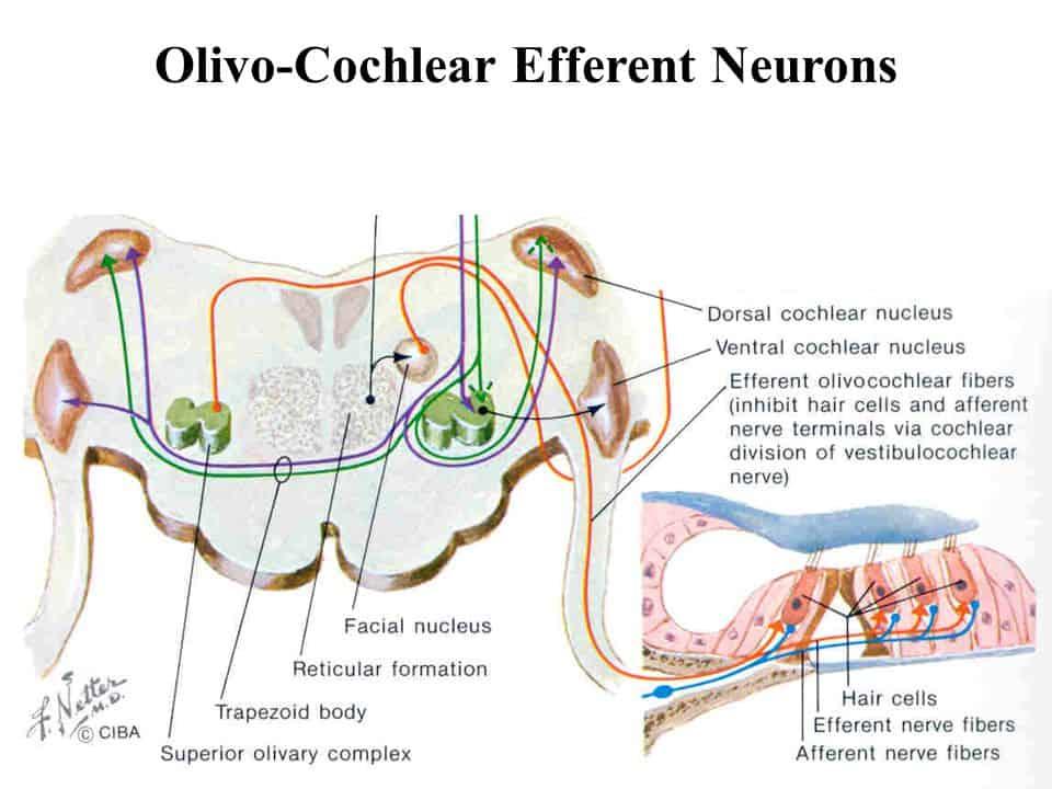 Eferent Olivokolear Sistem